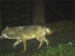 Fotofallenbild eines Wolfes im Nationalpark Bayerischer Wald, Mai 2015, (Foto: Nationalparkverwaltung Bayer. Wald)