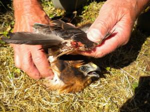 Verstümmelte Wiesenweihe. (Bild: LBV) - Naturschutzkriminalität