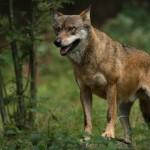 Wölfe in Deutschland - Dank des strengen Schutzes sind sie wieder zurück. Illegale Jagd auf unliebsame heimische Wildtiere stellt eine Gefahr für deren Fortbestand in Deutschland dar. (Bild: Gehegeaufnahme Tierfreigelände Neuschönau, R. Simonis) - Almwirtschaft