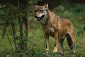 Wölfe in Deutschland - Dank des strengen Schutzes sind sie wieder zurück. Illegale Jagd auf unliebsame heimische Wildtiere stellt eine Gefahr für deren Fortbestand in Deutschland dar. (Bild: Gehegeaufnahme Tierfreigelände Neuschönau, R. Simonis)