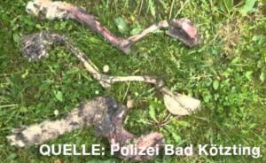 Straftaten an Luchsen: Abgetrennte Luchspfoten bei Cham im Lamer Winkel