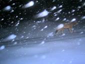 Wolf Fichtelgebirge 2012
