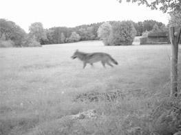 Wolf Landkreis Cham_Sept 2015