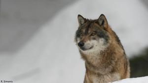 Wölfe in Deutschland - Wolf_R_Simonis
