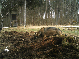 Fotofalle_Wolf_03_2016_BJV Starnberg - Wolf im Landkreis Starnberg