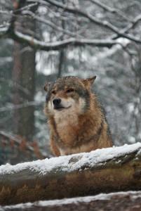 Bayern ist Wolfsland - Abschuss von Wölfen