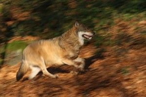 """Wölfe in Bayern. Mit ihrer Wiederkehr wird auch die Diskussion um das Vorgehen bei """"Problemfällen"""" lauter. (Foto: R. Simonis)"""