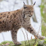 Felines Immundefizienz Virus Luchs - Positionspapier zu Luchs und Wolf
