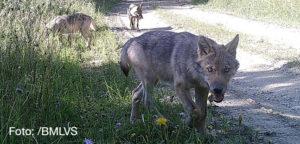 Wölfe in Österreich