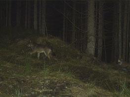 wolf lfu brandenburg