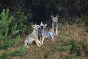 Wolfsrudel in Bayern - Wolfswelpen Bayern