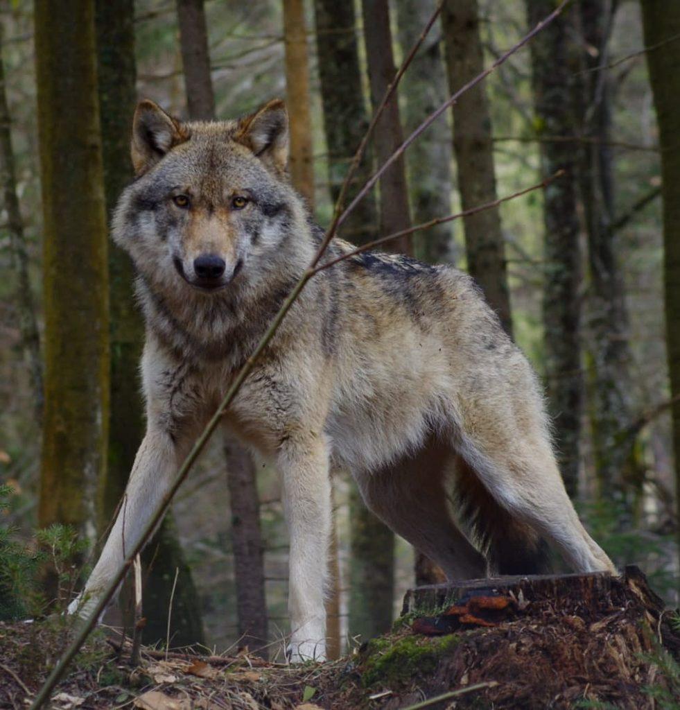 Aktionsplan Wolf