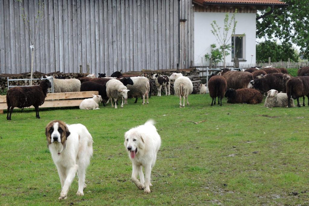 Zaunbau für den Herdenschutz